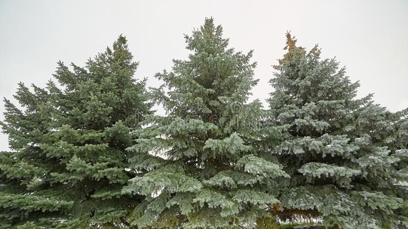 Árboles de navidad hermosos en la nieve Invierno, helada fotografía de archivo