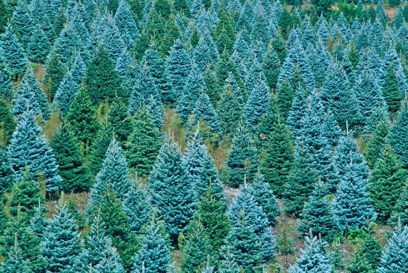 Árboles de navidad listos para cosechar imagenes de archivo