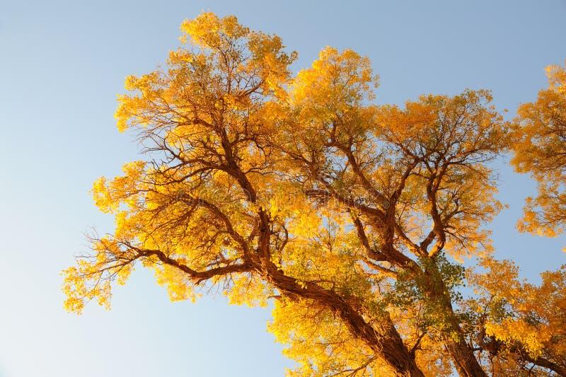 Árboles de oro foto de archivo libre de regalías