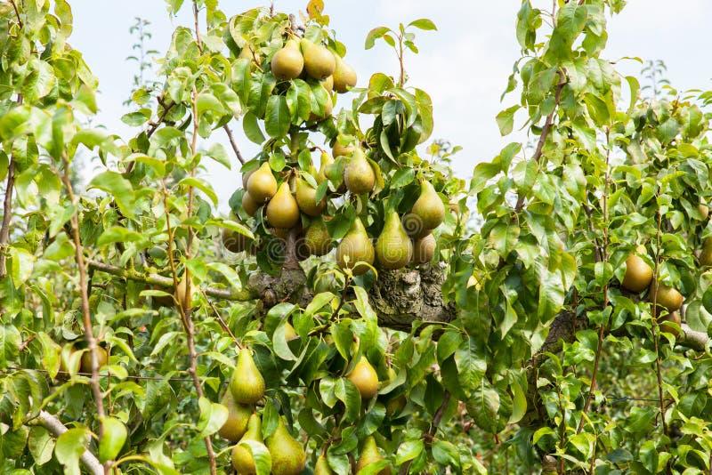 Árboles de pera cargados con la fruta en una huerta foto de archivo