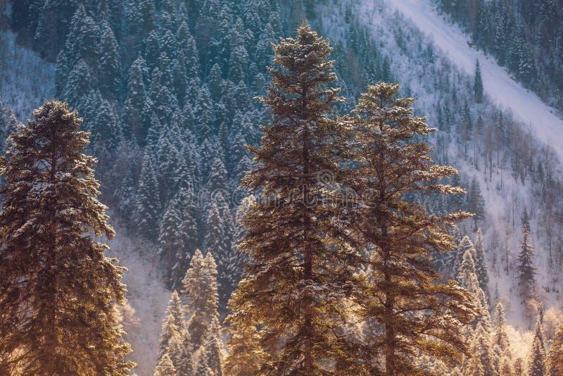 Árboles de pino altos cubiertos con la nieve que hace excursionismo por el sol poniente contra las cuestas nevosas de las montaña fotografía de archivo