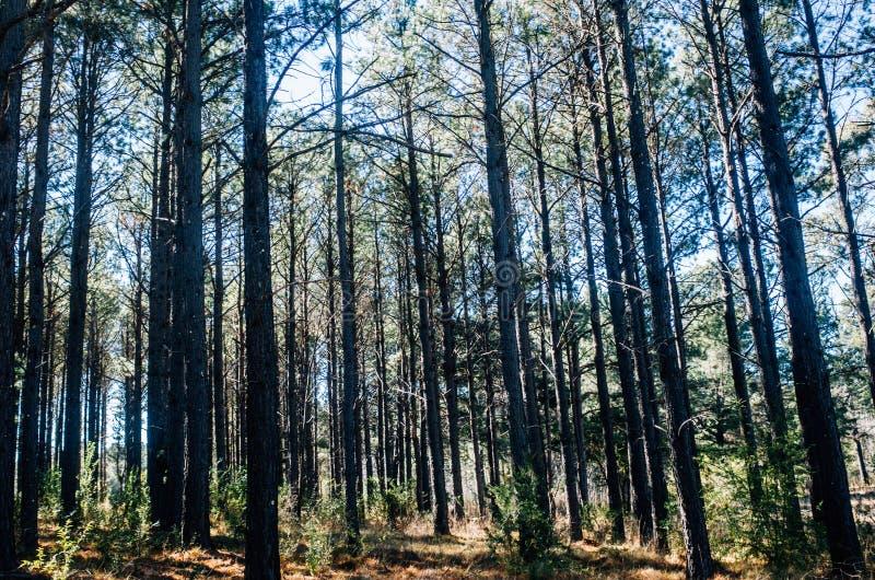 Árboles de pino altos en el borde de una plantación grande fotos de archivo libres de regalías