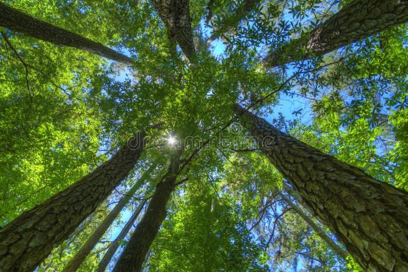 Árboles de pino altos en el bosque fotografía de archivo libre de regalías