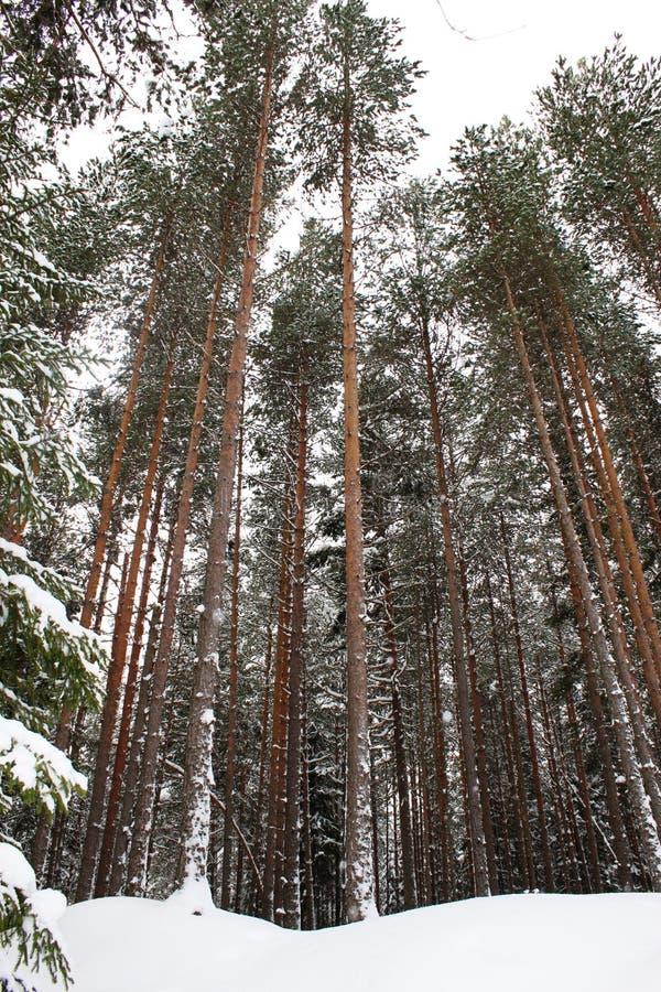 Árboles de pino altos en invierno fotografía de archivo libre de regalías