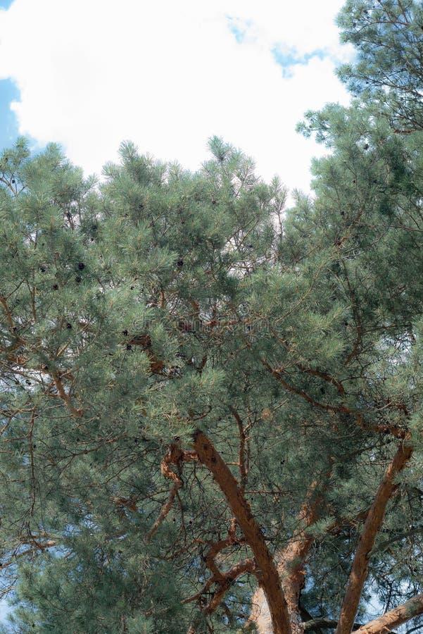 Árboles de pino, árboles de pino altos hermosos, árboles de pino majestuosos en un fondo del cielo azul imagenes de archivo