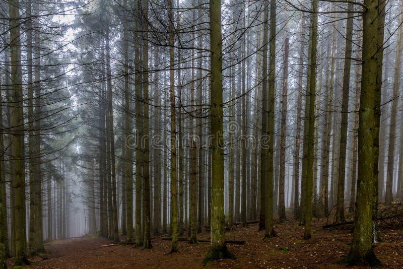 Árboles de pino altos de la imagen hermosa y una trayectoria en el medio del bosque imagen de archivo libre de regalías