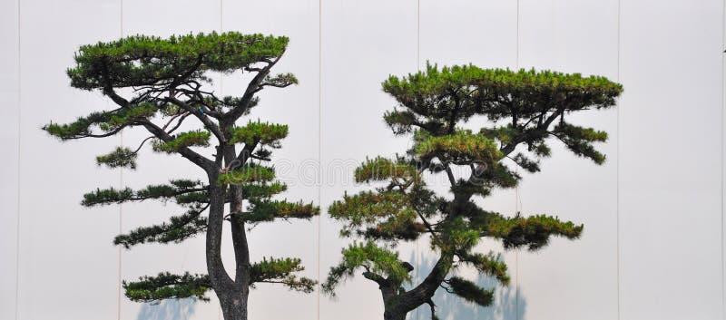 Árboles de pino apoyados contra las paredes blancas imágenes de archivo libres de regalías