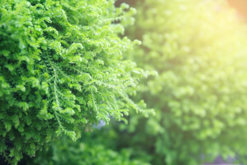 Árboles de pino con la luz de la explosión foto de archivo libre de regalías