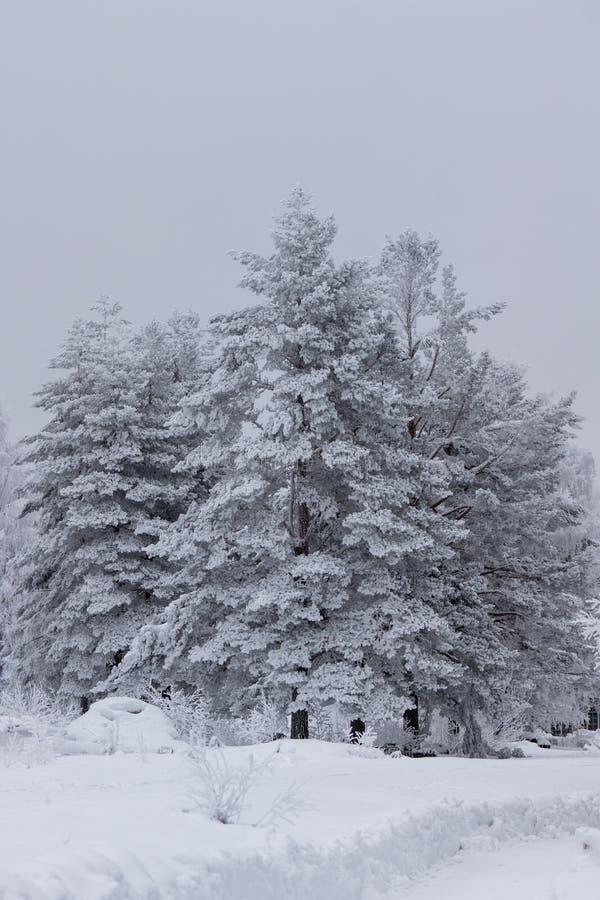 Árboles de pino de congelación cubiertos con helada y nieve imágenes de archivo libres de regalías