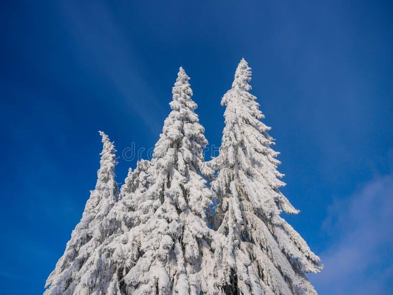 Árboles de pino cubiertos con nieve en las montañas cárpatas imagen de archivo libre de regalías