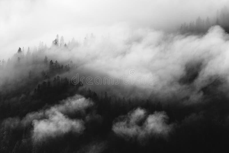 Árboles de pino cubiertos en niebla, nubes blancos y negros, whispy fotos de archivo libres de regalías