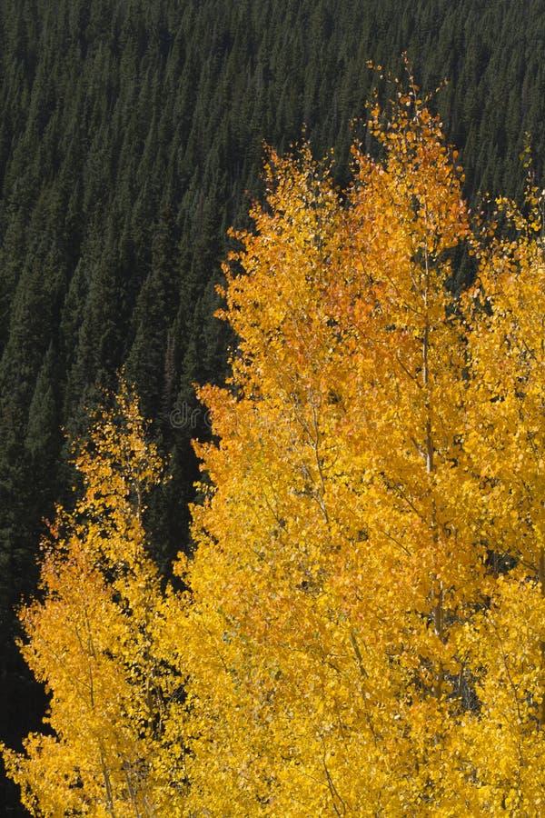 Árboles de pino de oro hermosos de Aspen Leaves Against Rocky Mountain foto de archivo