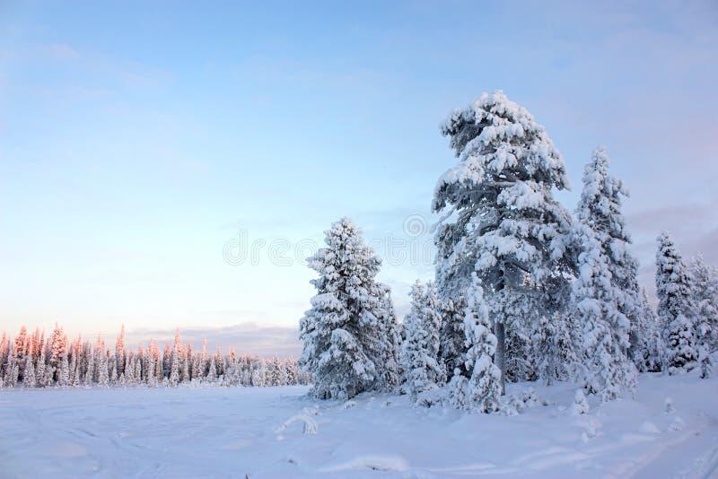 Árboles de pino del campo Nevado bajo el cielo azul imagenes de archivo