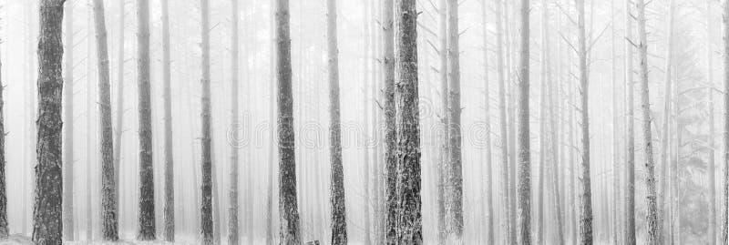 Árboles de pino desnudos altos en niebla del invierno fotografía de archivo