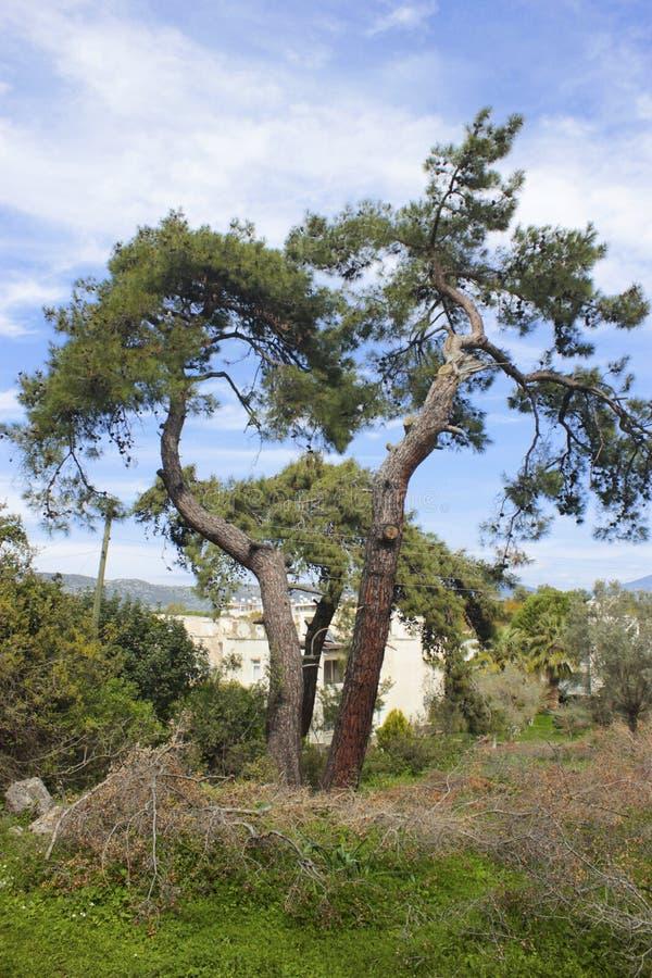 Árboles de pino dobles que se unen foto de archivo libre de regalías