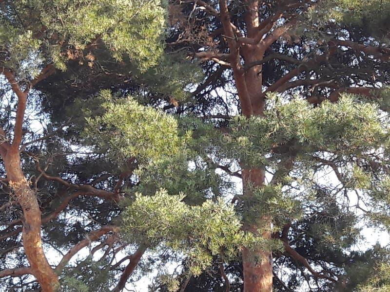 Árboles de pino en el paseo fotos de archivo libres de regalías
