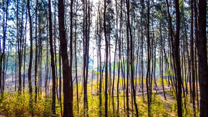 Árboles de pino en la playa foto de archivo