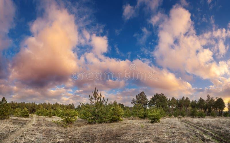 Árboles de pino en primavera con el cielo azul y las nubes hermosas en la puesta del sol foto de archivo libre de regalías