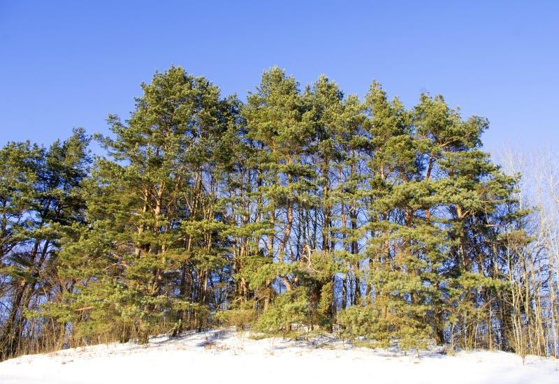 Árboles de pino en una colina en invierno imágenes de archivo libres de regalías