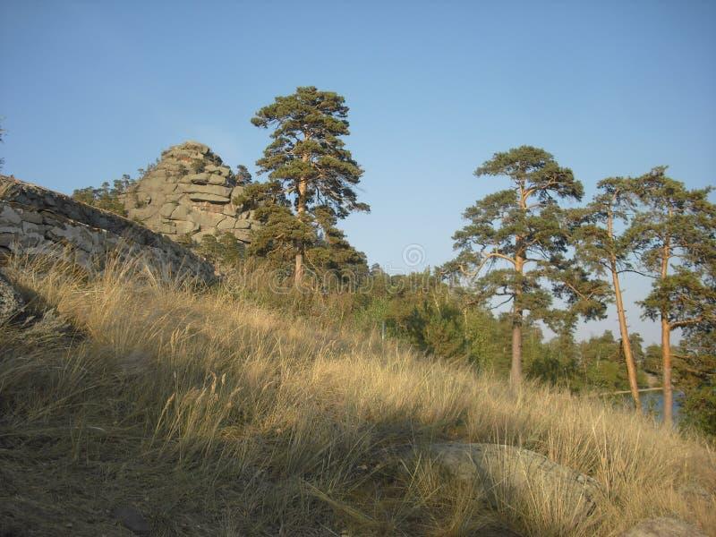 Árboles de pino grandes en la ladera imagenes de archivo