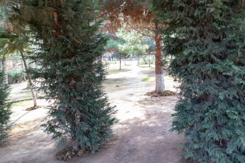 ?rboles de pino hermosos en verdes del fondo Bosque hermoso del verano fotos de archivo libres de regalías