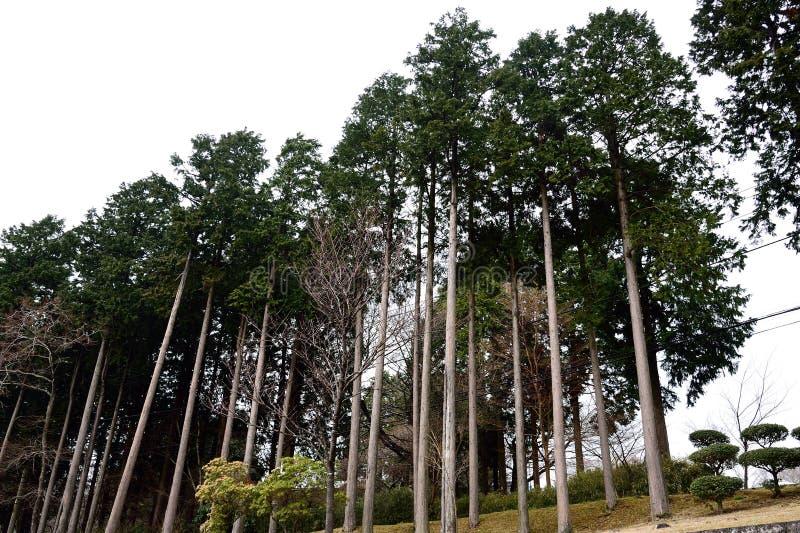 Árboles de pino japoneses imagenes de archivo