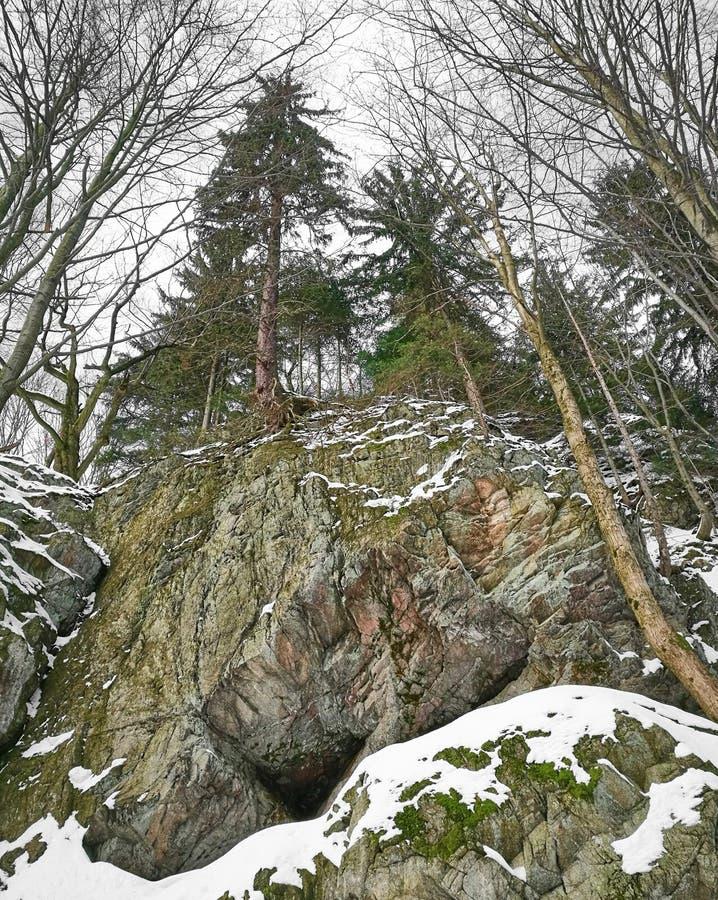 Árboles de pino majestuosos imagen de archivo libre de regalías
