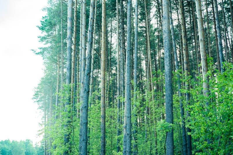 Árboles de pino majestuosos en un fondo del cielo azul imagenes de archivo