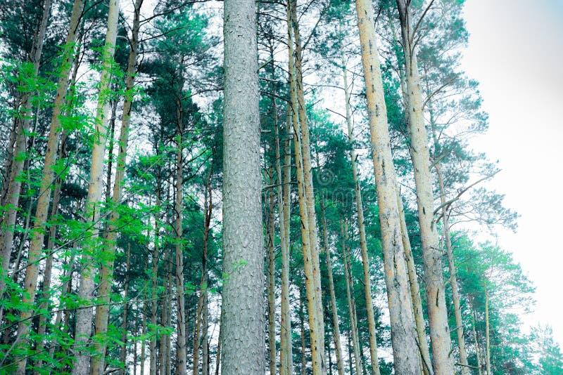 Árboles de pino majestuosos en un fondo del cielo azul fotografía de archivo