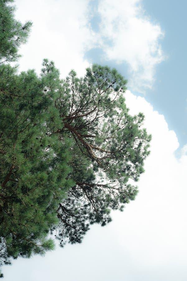 Árboles de pino majestuosos en un fondo del cielo azul, árboles de pino, árboles de pino altos hermosos imagen de archivo