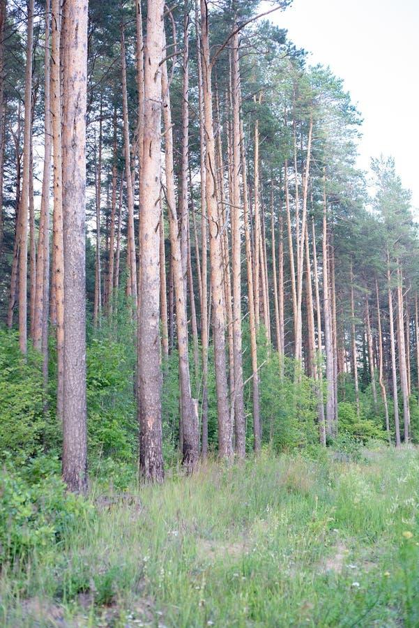 Árboles de pino majestuosos en un fondo del cielo azul El silencio y solamente el cuco podían ser oídos foto de archivo