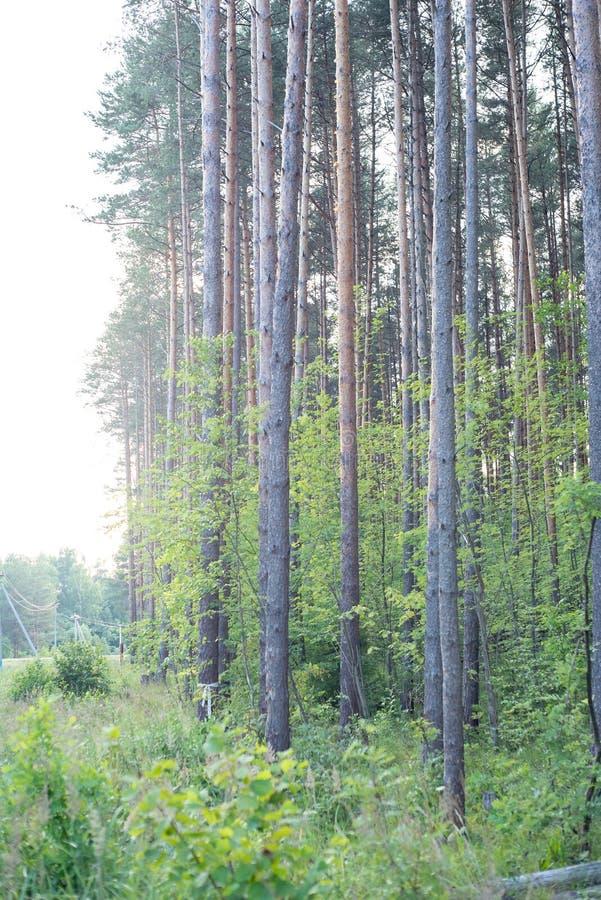 Árboles de pino majestuosos en un fondo del cielo azul el sonido de árboles imágenes de archivo libres de regalías