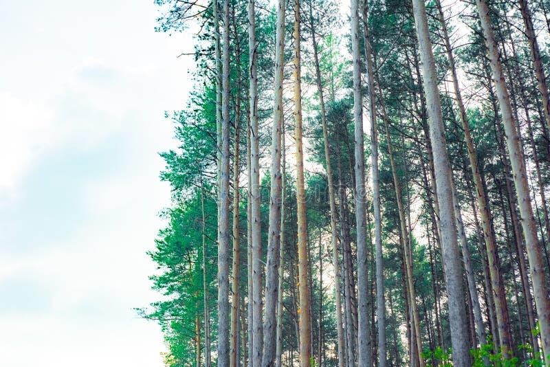 Árboles de pino majestuosos en un fondo del cielo azul el sonido de árboles imagen de archivo libre de regalías