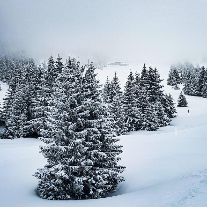 Árboles de pino de montaña cubiertos en nieve fotos de archivo libres de regalías