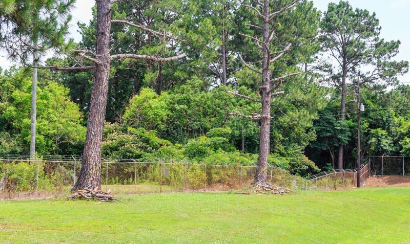 Árboles de pino muertos marcados fotos de archivo libres de regalías