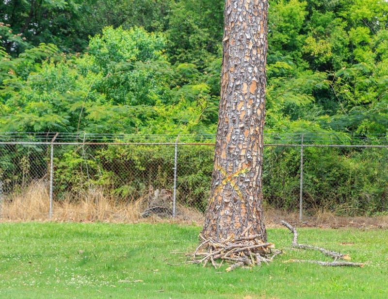 Árboles de pino muertos marcados imagenes de archivo
