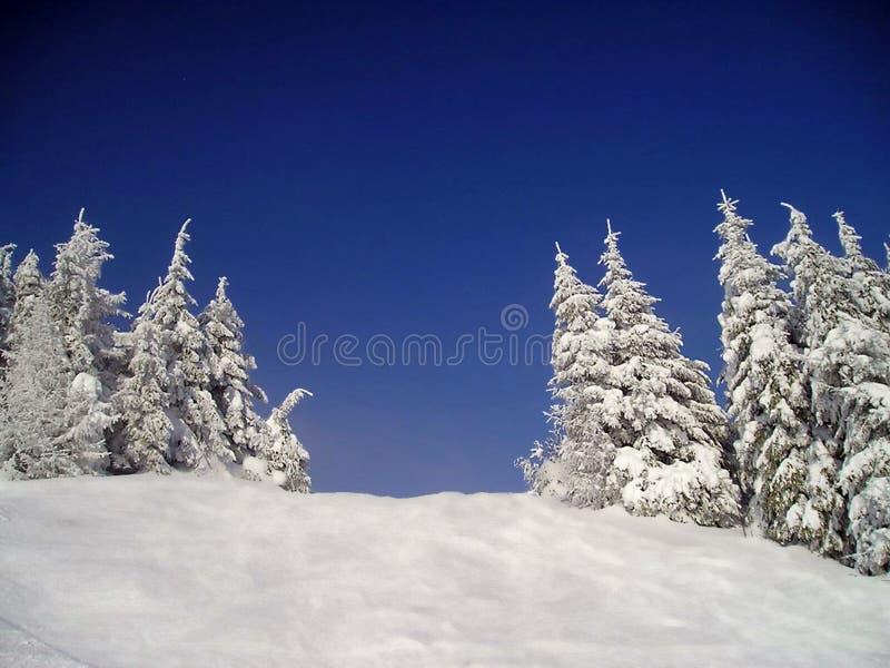 Árboles de pino Nevado imágenes de archivo libres de regalías