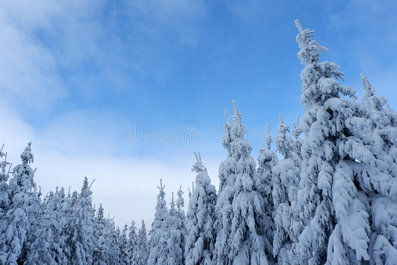 Árboles de pino Nevado y cielo azul imagenes de archivo