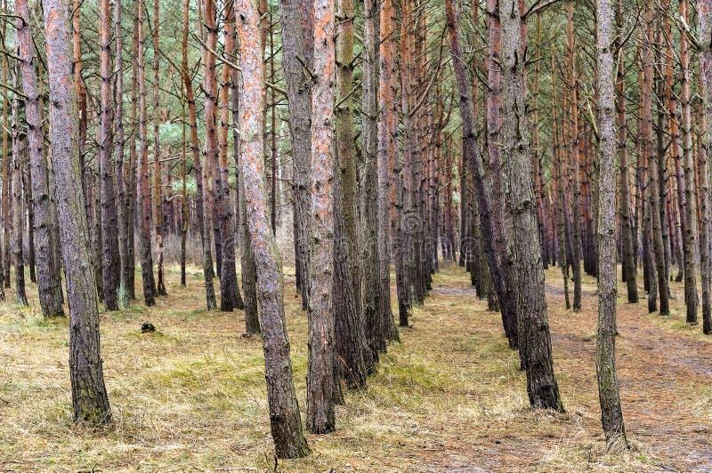 Árboles de pino plantados en filas rectas, bosque viejo del pino imagen de archivo