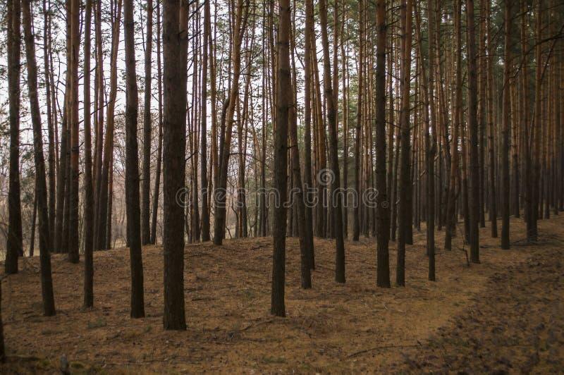 Árboles de pino por la tarde de la caída del bosque del otoño en colores marrones imagen de archivo