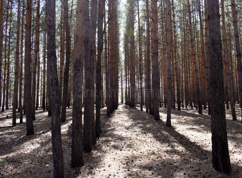 Árboles de pino que crecen en el bosque en fila imagen de archivo libre de regalías