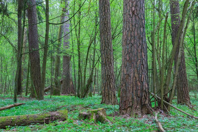Árboles de pino viejos enormes en primavera fotografía de archivo