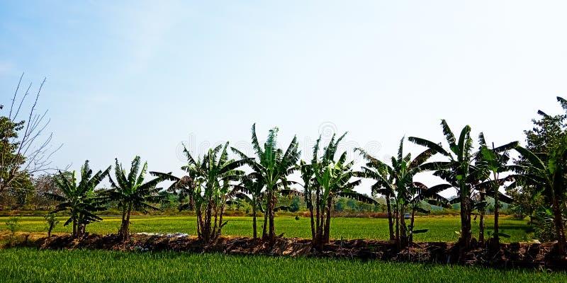 Árboles de plátano al borde de los campos del arroz fotografía de archivo