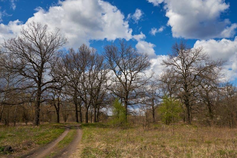 Árboles de roble a principios de la primavera sobre fondo azul del cielo fotografía de archivo libre de regalías