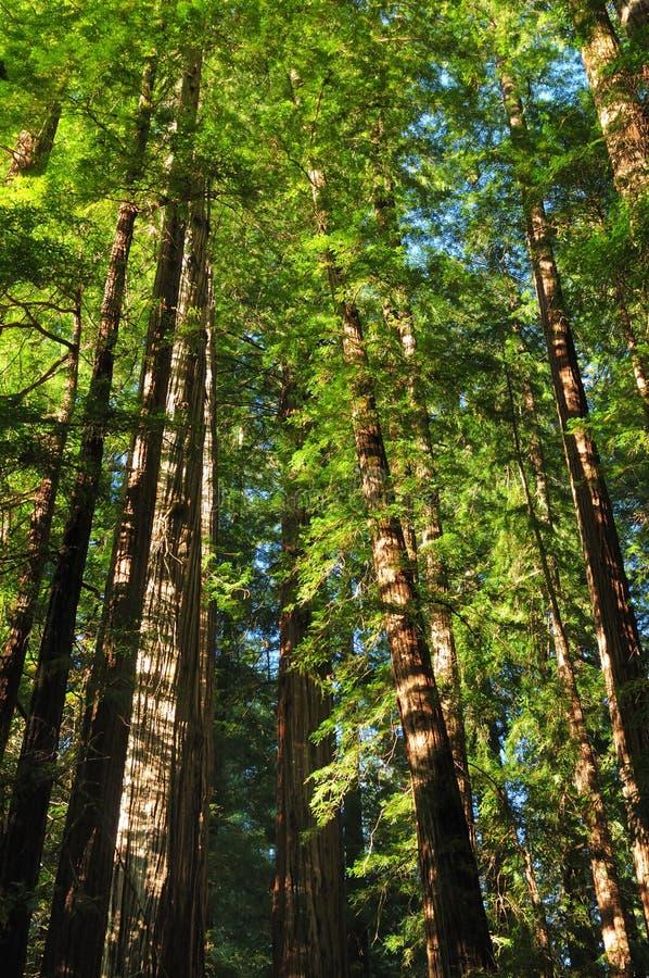 Árboles De secuoya En La Avenida De Los Gigantes California - Área De Los Grandes Árboles imagen de archivo libre de regalías
