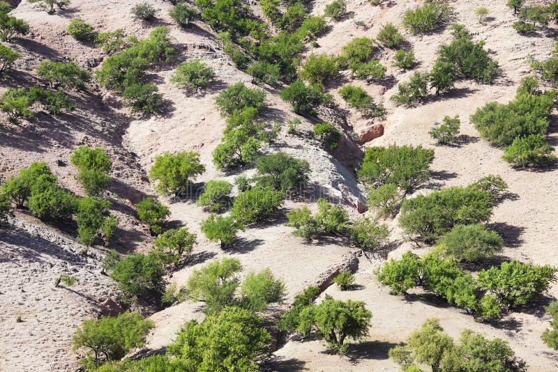 Árboles del Argan (argania spinosa) en una colina. fotos de archivo libres de regalías