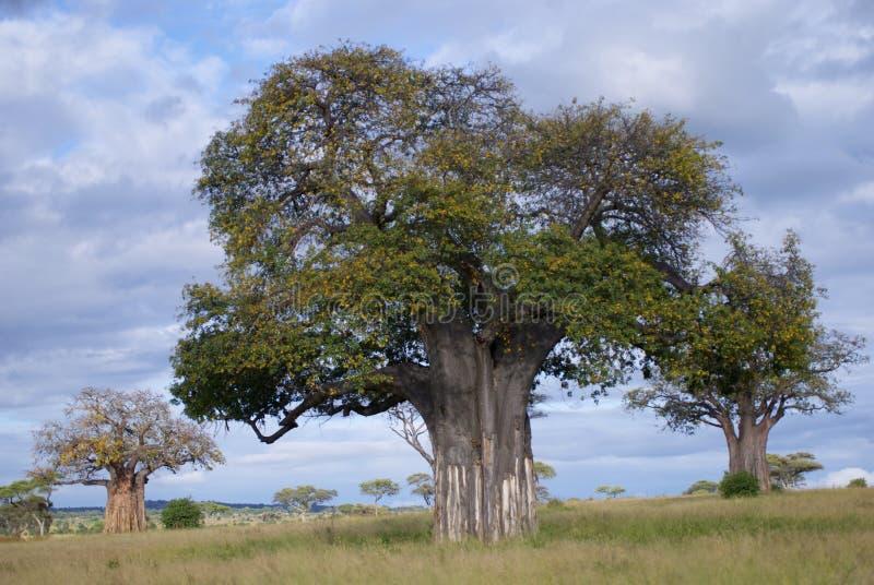Árboles del baobab fotografía de archivo