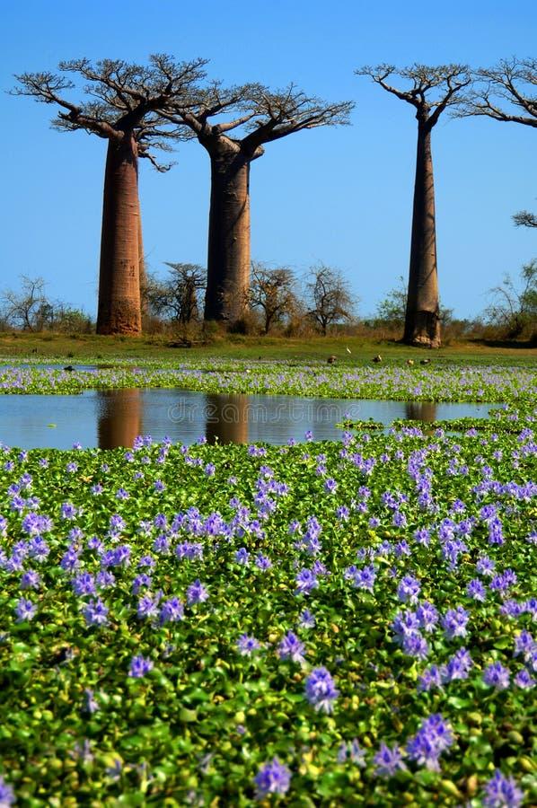 Árboles del baobab fotografía de archivo libre de regalías