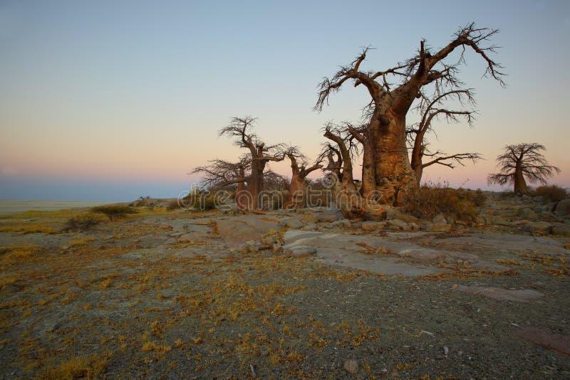 Árboles del baobab en la isla de Kubu fotografía de archivo libre de regalías