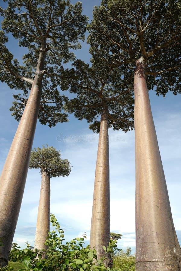 Árboles del baobab en Morondava, Madagascar foto de archivo